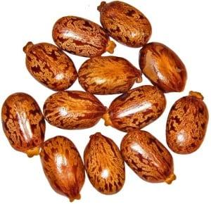 Castor Bean