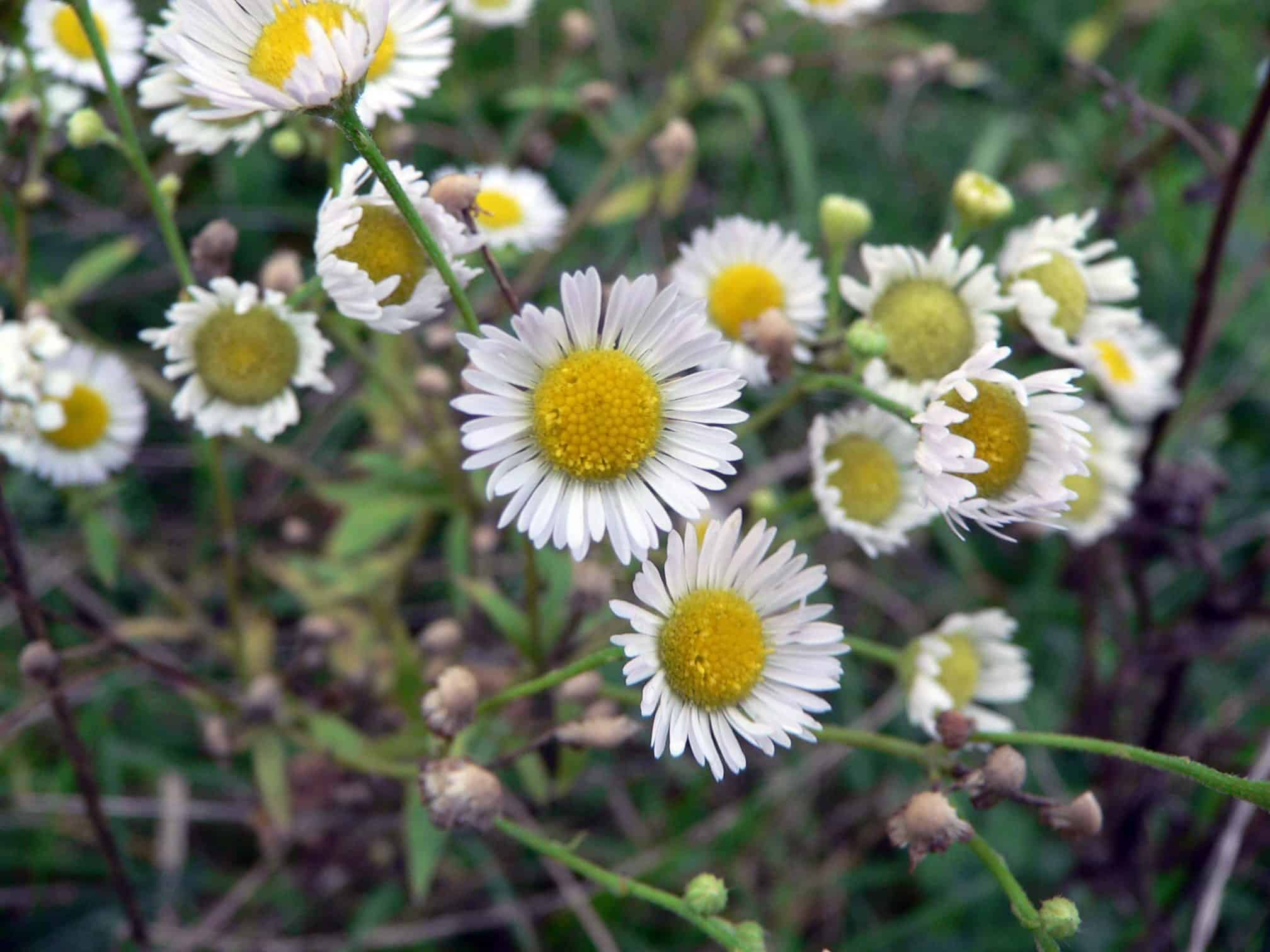 Camomile flowers buy